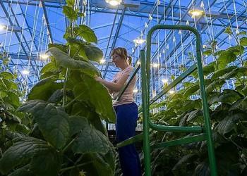В Кемеровской области ООО «Агро элит-инвест» запустило тепличный комплекс