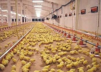 Новая птицефабрика в Калининградской области запускает первые корпуса