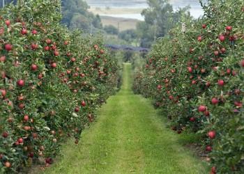 Ингушские яблоки дошли до Сибири