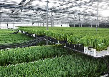 Крупнейший в Калининградской области производитель тюльпанов увеличивает выращивание цветов