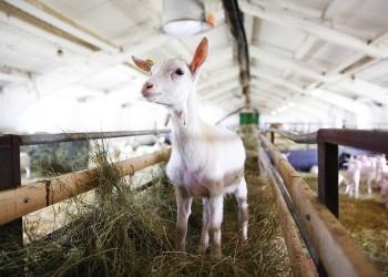 В Марий Эл открылась крупнейшая в России козья ферма агрохолдинга «Лукоз»