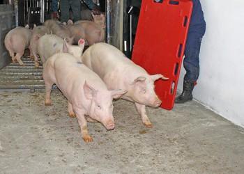 Новые свинокомплексы «Агро-Белогорье» вводятся в эксплуатацию