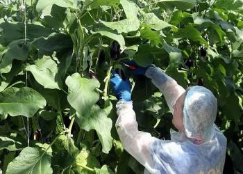 Подмосковье первое в России начало выращивать в больших объемах баклажаны в теплицах