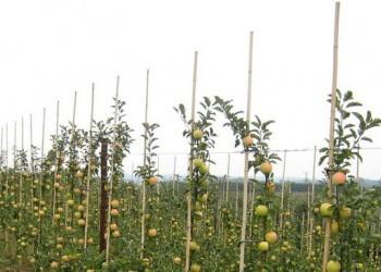 Первая тысяча гектаров новых садов высажена на Кубани
