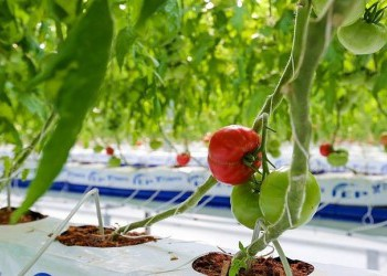 Строительство тепличного комплекса по выращиванию томатов началось в Липецкой области