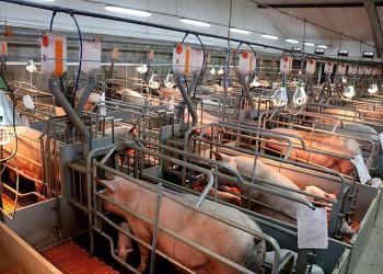 Завершается комплектация поголовьем Старогородского свинокомплекса в Курской области