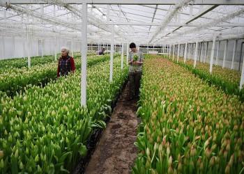 В Калининградской области расширяется производство цветов