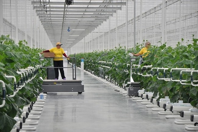 сбор тепличных овощей в России вырос