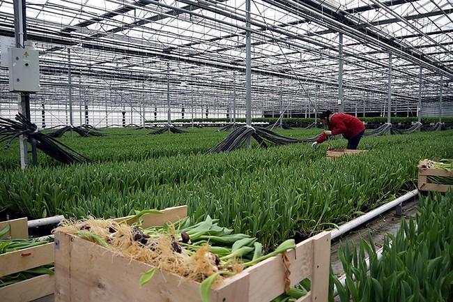 Крупнейший производитель тюльпанов