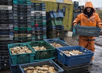 За три года эмбарго производство устриц в России возросло в 265 раз